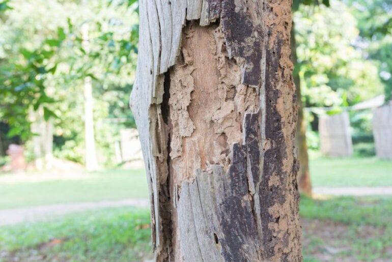 Termite Damage on Tree