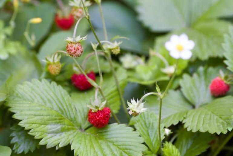 Wild Strawberries Growing