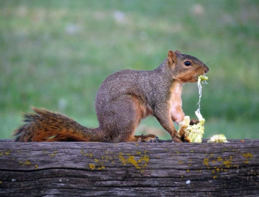 Squirrel Eating a Hedge Apple