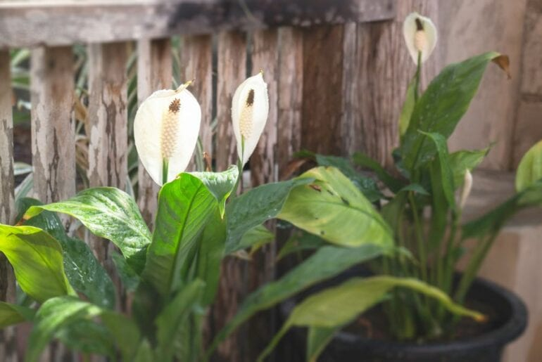 Peace Lily Outdoors