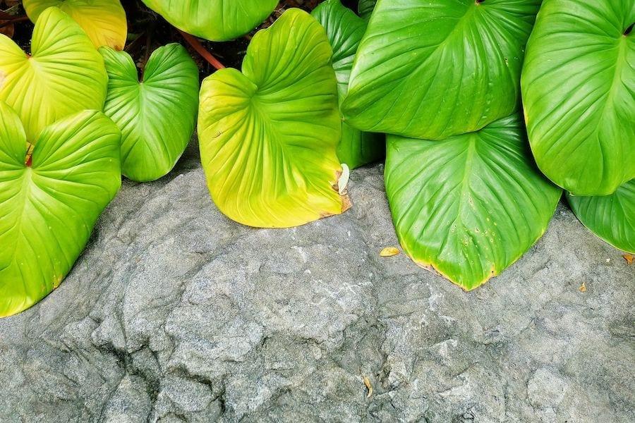 Elephant Ear or Colocasia Plants