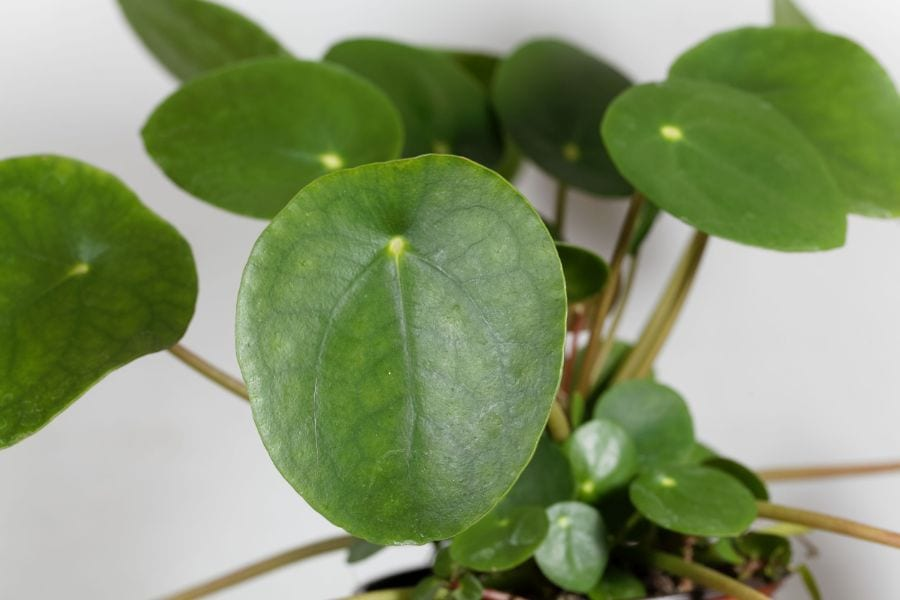 Pilea Peperomioides: Your Chinese Money Plant Care Guide