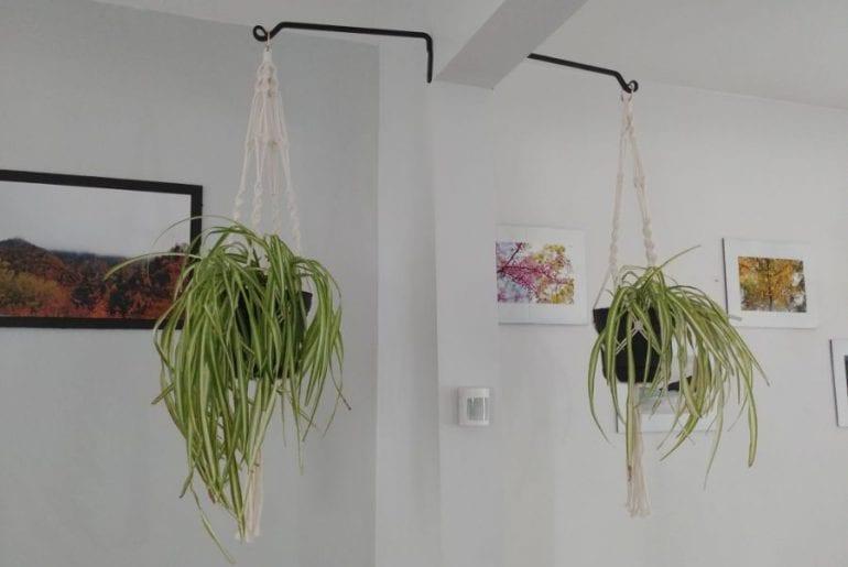 Hanging Spider Plants