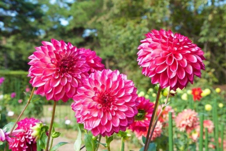 Flowering Dahlias
