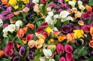 Calla Lilies Blooming
