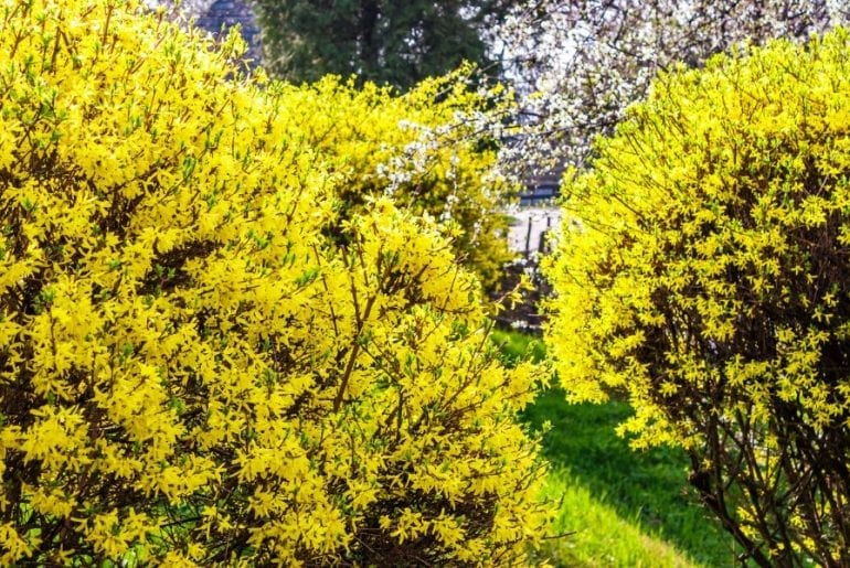 Forsythia Shrub