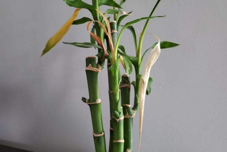 Lucky Bamboo leaves dying