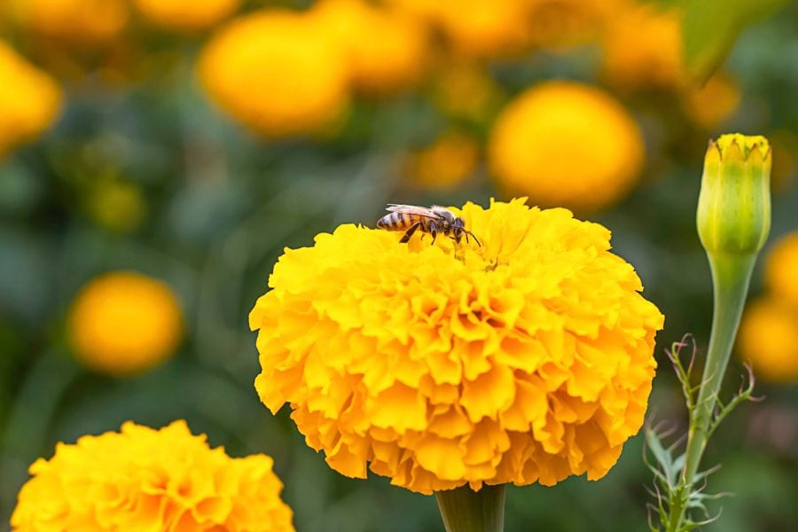 Do Marigolds Attract Bees? (And Why, If So?)