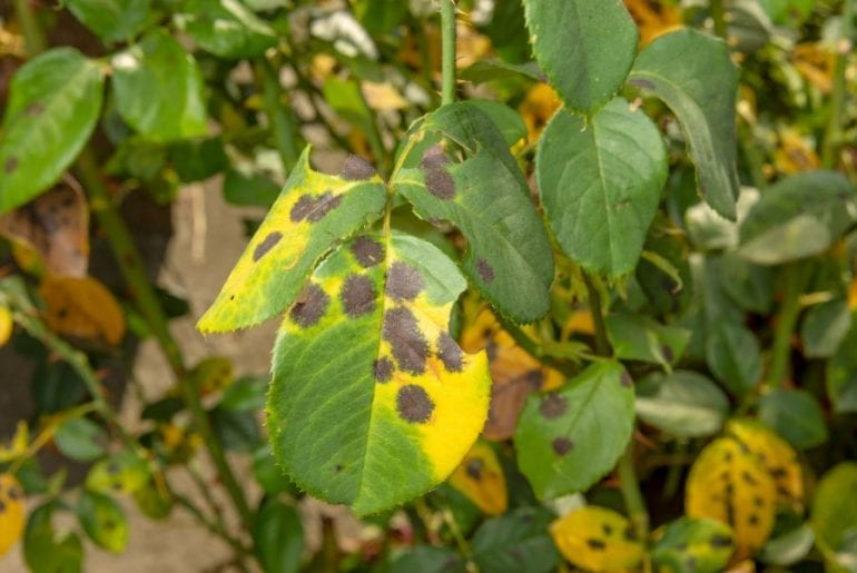 Black Dots on Plant