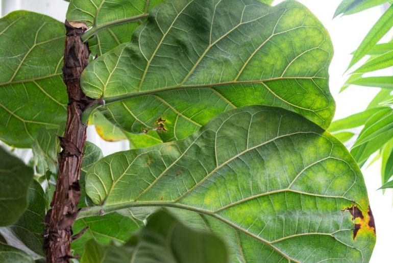 Fiddle Leaf Fig Leaves with Brown Spots