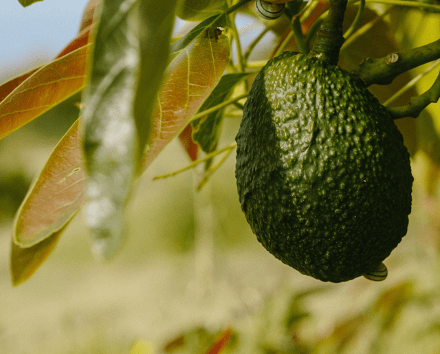 How to Save a Dying Avocado Tree Cover