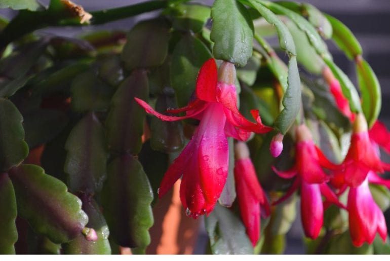 Christmas Cactus Purple Leaves