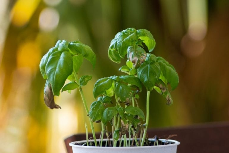 Drooping Basil Plant