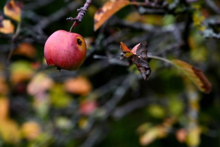 Dying Apple Tree