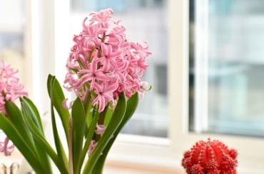 Hyacinth Indoors