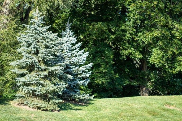 Pine Trees in Yard