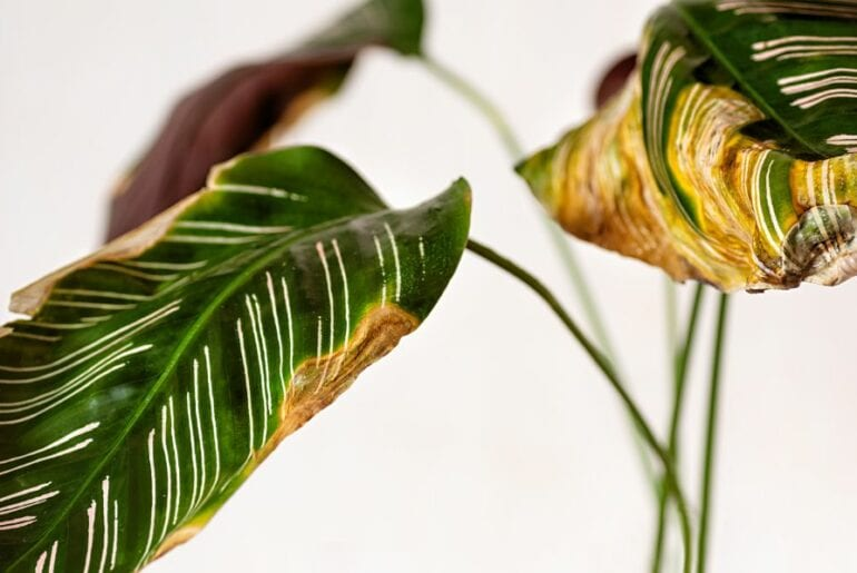 Calathea with Yellow Leaves
