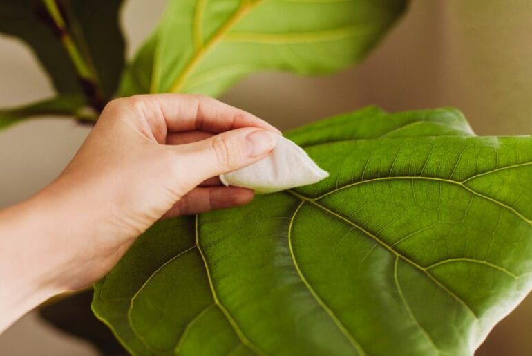 Cleaning Fiddle Leaf Fig