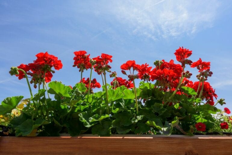 Geraniums in Sunlight