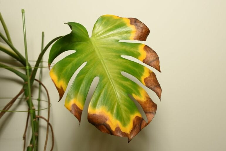 Monstera with Yellowing Leaves
