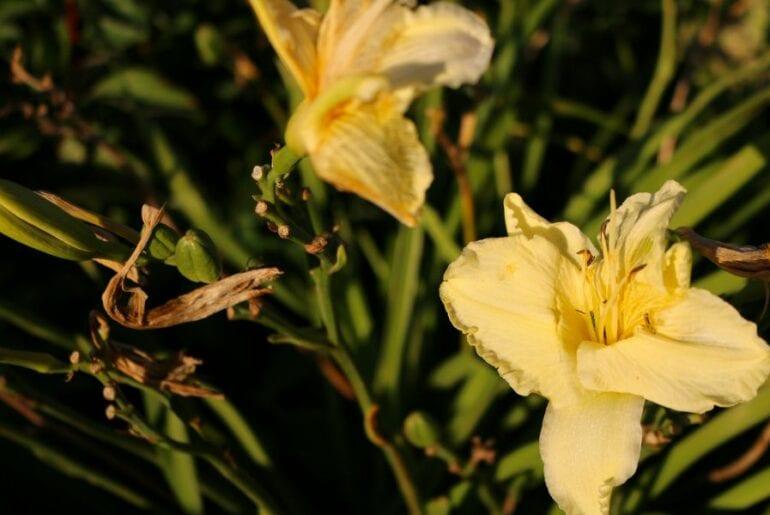 Wilting Daylilies