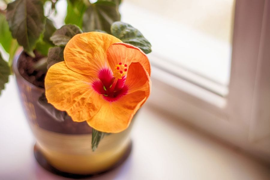 Hibiscus Care Guide (Tips for Optimal Growth and Maintenance)