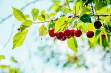 Cherry Tree with Cherries