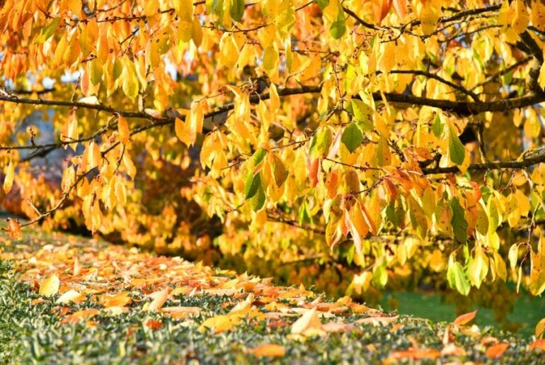 Cherry Tree with Yellow Leaves