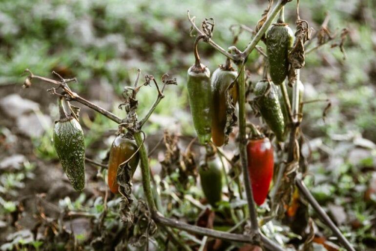 Dying Jalapeno Plant