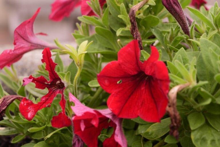 Red Petunias