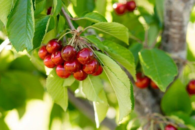 Farm Fresh Cherries on the Tree
