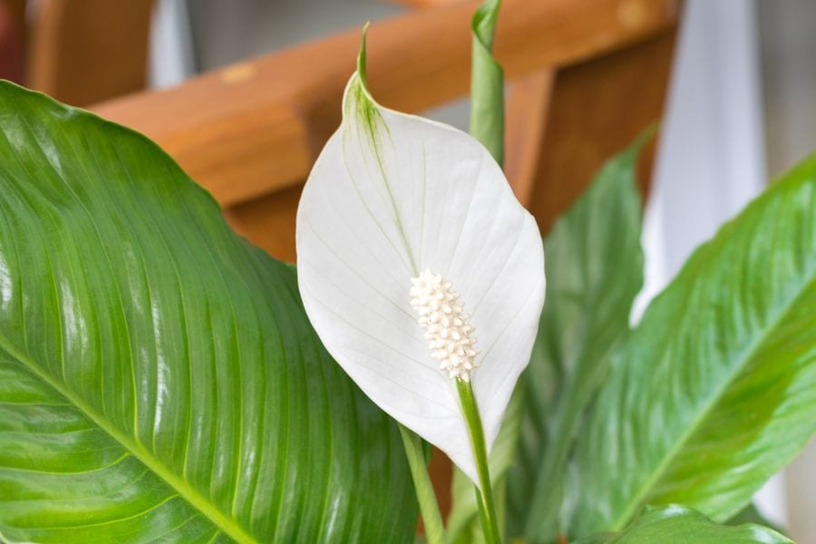 How to Grow a Peace Lily in Water (Step by Step)