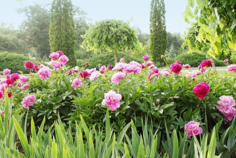 Peony Bushes With Pink Flowers