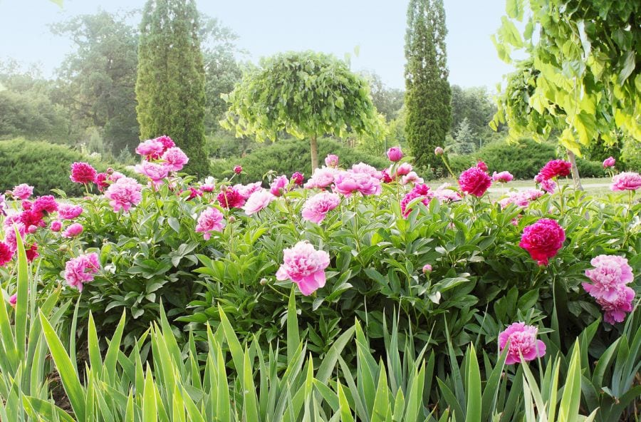 12 Reasons Why Your Peonies Are Not Blooming