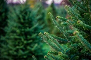Pine Trees on Tree Farm