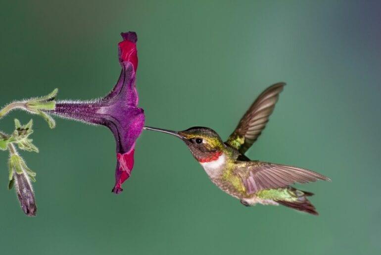 Ruby-Throated Hummingbird With Petunia