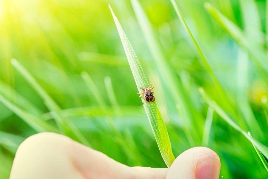 Tick on Blade of Grass