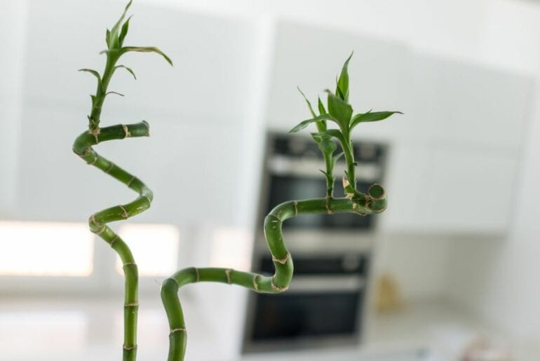 Two Lucky Bamboo Stalks