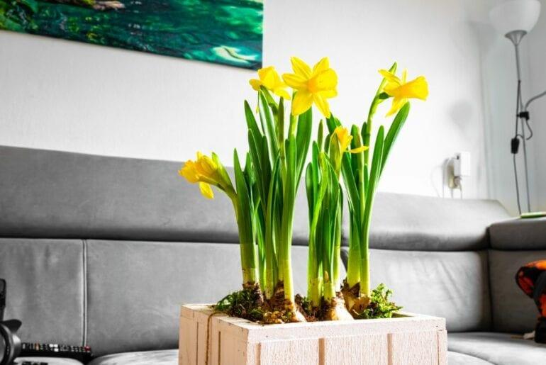 Yellow Daffodils on Living Room Table