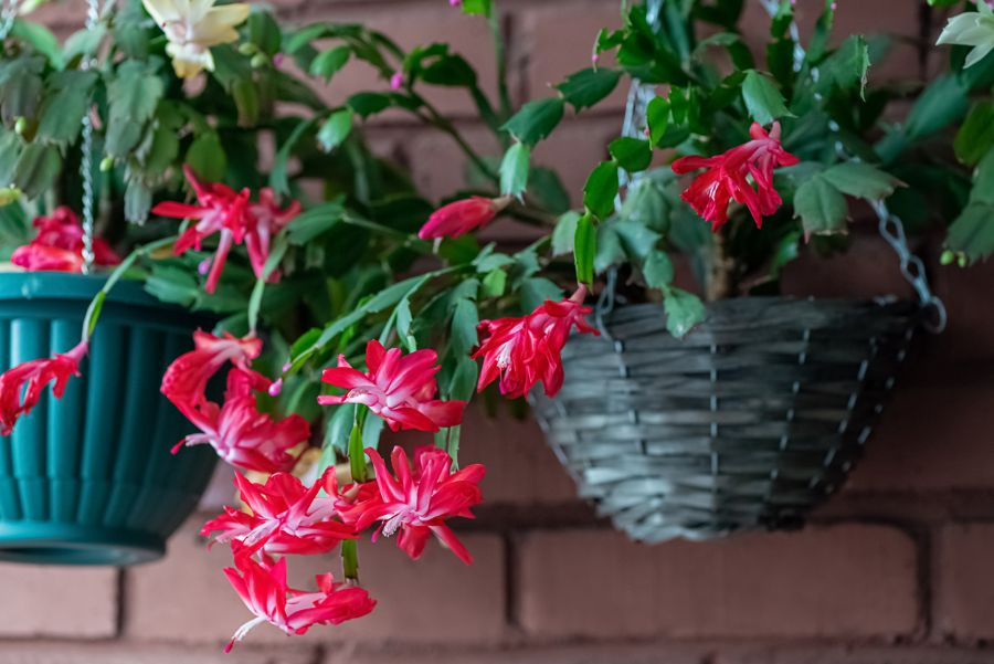 Can a Christmas Cactus Go Outside? (Tips to Help It Thrive)