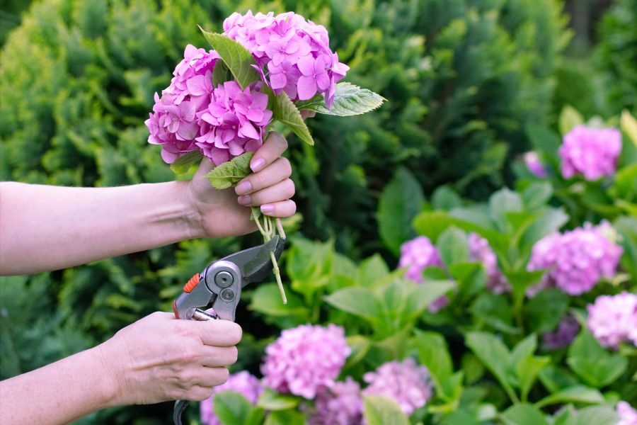 How Fast Do Hydrangea Cuttings Grow? (What to Expect)