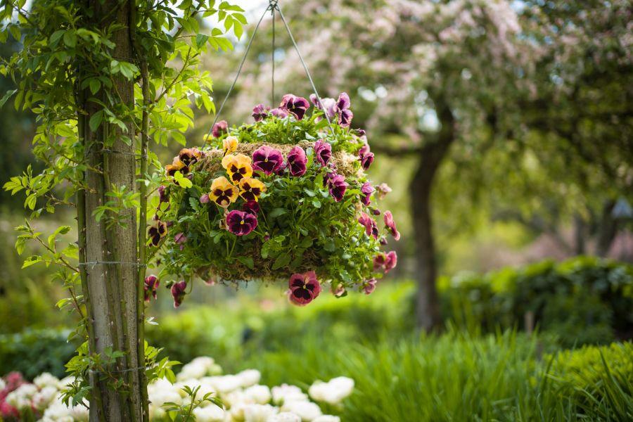 Hanging Pansy Basket in Spring Garden